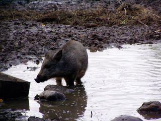 Wildschwein - Tier, Waldtier, Wildschwein, Säugetier, Schwarzwild, Allesfresser, suhle, suhlen