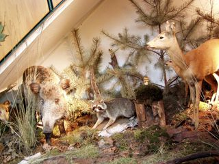 Ausstellung der Waldschule - Tiere, Wald, Waschbär, Reh, Wildschwein