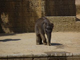 Elefantenkind - Elefant, Jungtier, Rüsseltier, Dickäuter, ter, Säugetier, Rüssel, Pflanzenfresser
