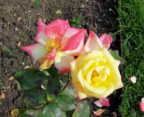 Rose - Rose, Schnittblume, Knospe, Rosengewächs, Naturform, Draufsicht, Rosenblüte, Schnittblume, Blüte, Blume, zwei, verschieden