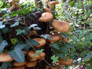 Pilze 1 - Pilz, Baumpilz, Schädling, Schmarotzer, Baumschwamm, Parasit