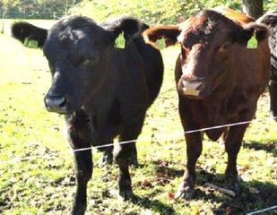 Jungvieh(1) - Vieh, Rind, Jundtier, Nahrung, Viehhaltung, schwarz, braun