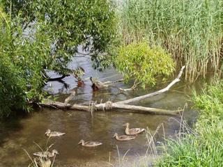 Seeuferidylle - See, Ufer, Enten, Schreibanlass, Ufer, Wasser, schwimmen, Vögel, Ente, Vogel