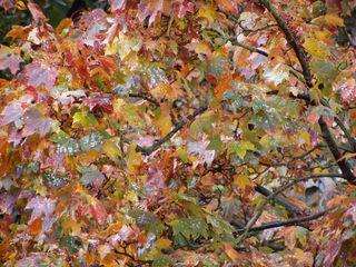 Buntes Herbstlaub - Herbst, Herbstlaub, Ahorn, Blatt, Blätter, bunt, farbig