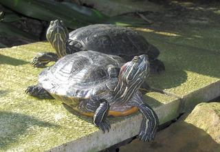 Rotwangen-Schmuckschildkröte - Schildkröte, Rotwangen-Schmuckschildkröte, Panzer, langsam, schwarz, rot, Pflanzenfresser, Reptil, langsam, Keratin, bedroht, Schildpatt, Artenschutz, Terrarium, Wasser, schwimmen, Krallen, zwei