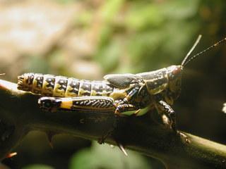 Heuschrecke (2) - Insekten, Heuschrecke, Nahrung, Nahrungsaufnahme, fressen, grün, Langfühlerheuschrecke