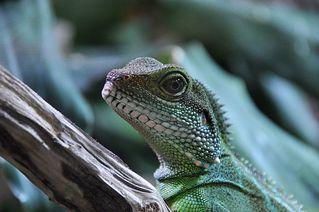 Grüne Wasseragame: Schau mir in die Augen, Kleines! - Wasseragame, grün, Agame, Echse, Reptil, Reptilien, Leguan, Asien, Regenwald, Kopf, Auge