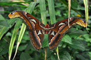 Atlas Seidenspinner - Atlas Seidenspinner, Schmetterling, Falter, symmetrisch, fliegen, Attacus atlas, Schlangenkopffalter