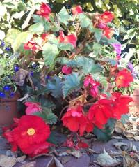 Herbst_Knollenbegonie - Biologie, Zierpflanzen, Begonien, Blüten, Herbst nicht winterhart