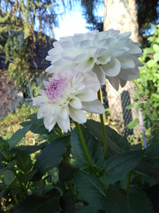 Dahlie_2 - Biologie, Zierpflanzen, Dahlie, Korbblüter, nicht winterhart, Knollen