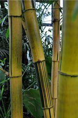 Bambus - Bambus, Bambusartige, Süßgräser, Pflanze, Stamm, verholzt