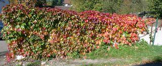 Wilder Wein - Kletterpflanzen, Selbstkletternde Jungfernrebe, wilder Wein, Herbst, Laub, bunt, Herbstlaub