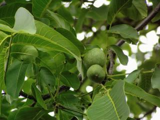 Walnuss#1 - Walnuss, Nuss, Natur, heimische Pflanzen, Nahrungsmittel, Baum, Laubbaum, Frucht, Nussbaum, unreif, Umhüllung, Blätter