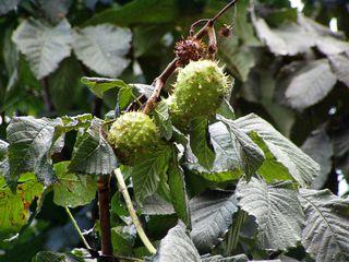 Kastanie#2 - Kastanie, Frucht, Laubbaum
