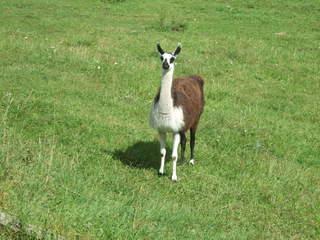 Lama - Natur, Tier, Kamel, Lama, spucken, Wolle