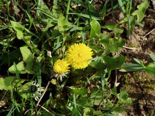 Löwenzahn - Löwenzahn, Korbblütler, Taraxacum, gelb, Blüte, blühen, Blütenstand, Wiese