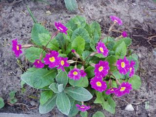 Primel - Primel, Pflanze, blühend, Frühblüher, Frühling, Frühjahr