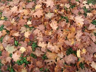 Herbstlaub - Herbst, Laub, Färbung, Farben, herbstlich, bunt, Jahreszeiten, Blätter
