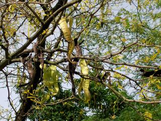 Amerikanische Gleditschie #2 - Gleditschie, Baum, Natur, Pflanze, Hülsenfrucht, Früchte, Blätter, Laub, gelb, braun