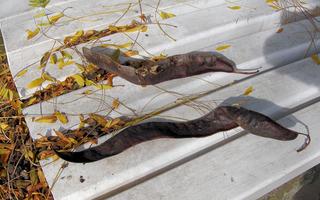 Amerikanische Gleditschie #4 - Gleditschie, Baum, Natur, Pflanze, Hülsenfrüchte, Früchte, braun, Herbst