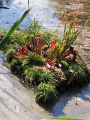 Schlauchpflanze - Schlauchpflanze, Schlauchpflanzen, Pflanzen, Teich, fleischfressend, carnivor, Moor, Insekten