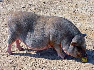 Hängebauchschwein - Haustier, Schwein