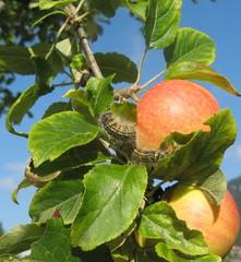 Kleiner Fuchs: Raupe #2 - Raupe, Schmetterling, Apfel, Entwicklungsstadium, Kleiner Fuchs